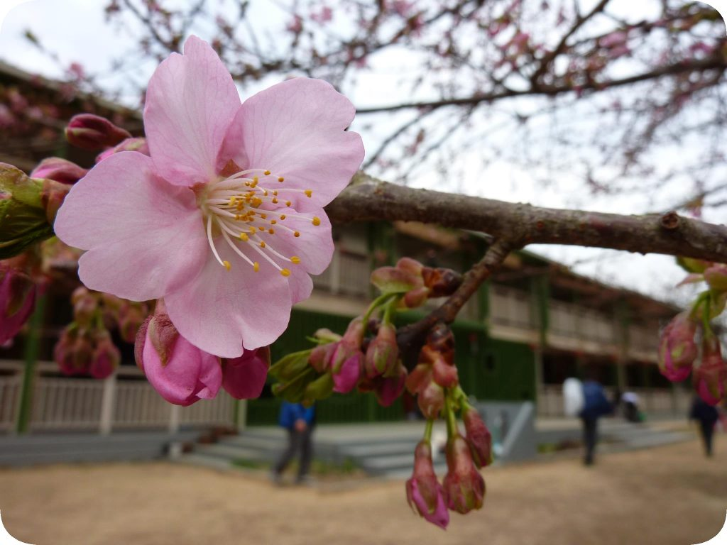 Sakura Trees at Tsukuba International School