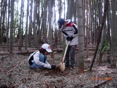 Digging up bamboo shoots