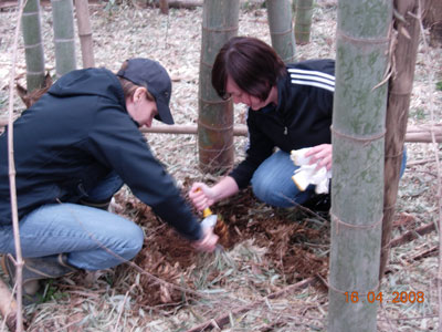 Digging up bamboo shoots at Tsukuba International School